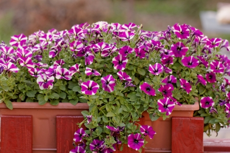 the purple white petunia, on balkony box Stock Photo