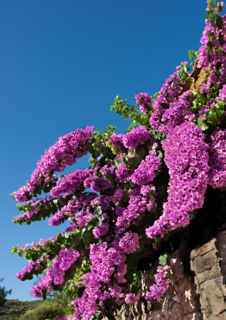 beautiful cyclamen bougainvillea photo