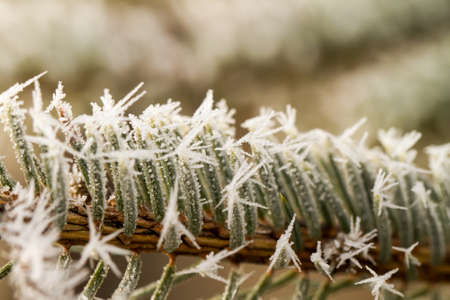 rime or hoarfrost on a silver pine branch Stock Photo