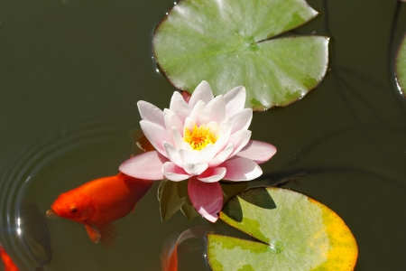 nymphaeaceae: pink water lily in the lake with goldfish