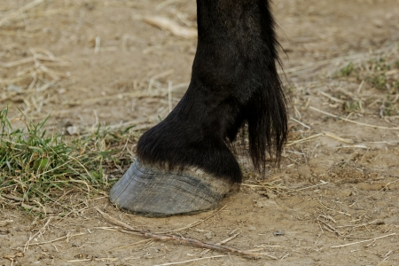 black horse leg and hoof without horseshoe photo