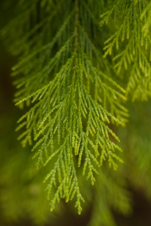 cypress: one twig of a green thuja