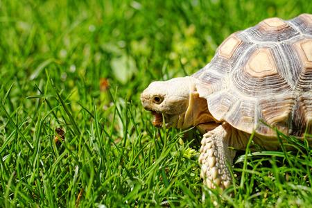 spurred: African Spurred Tortoise (Geochelone sulcata) in the garden