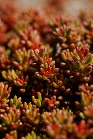 ornamentals: Close up photo of a beautiful red ornamentals