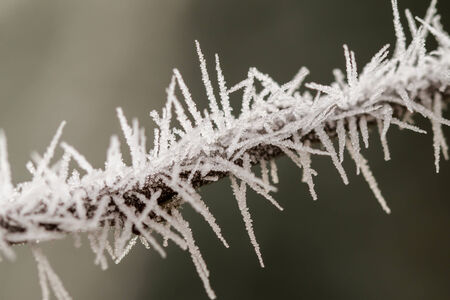 rime: Beautiful close up photo of frosty plant