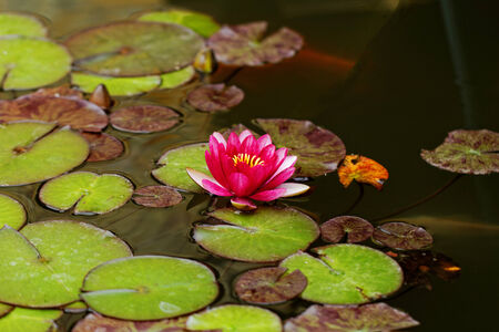 plenitude: water lily on the small Lake