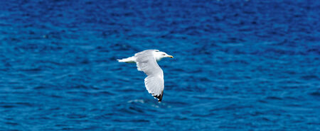 turquise: white seagull flying over blue, turquise sea