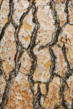 softwood: Photo of a long softwood pine trunk