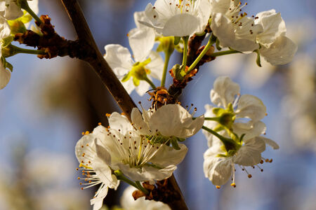 blossom tree with a bee pollination Stock Photo