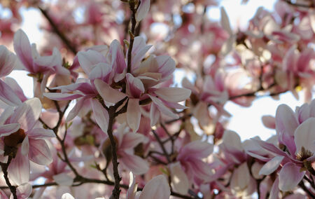 Spring Blossoms of a Magnolia tree