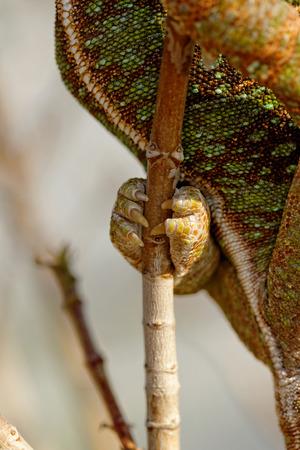 Photo of a veiled chameleons leg - Chamaeleo calyptratus