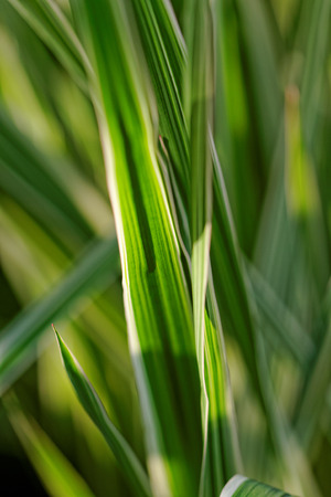Close up photo of a miscanthus sinensis