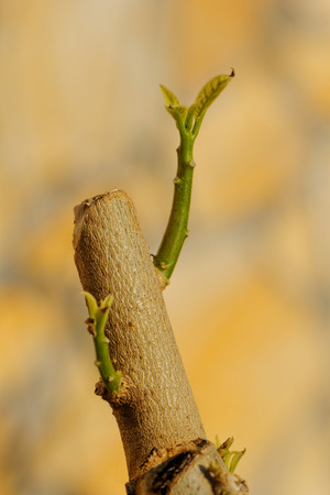 Close up photo of trumpet flower buds Stock Photo - 32616432