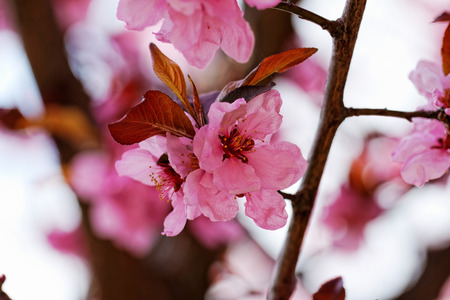 Beautiful close up photo of Japanese cherry flowers