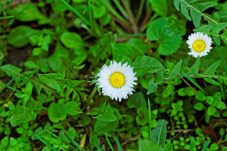Two beautiful chamomile in the green grass