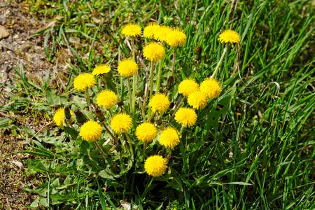 Beautiful photo of a bouquet yellow dandelion
