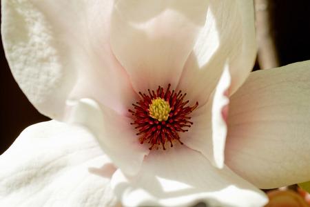 Closeup about a blossom Magnolia tree