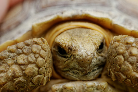 Close up photo a spurred tortoise - Geochelone sulcata Stock Photo