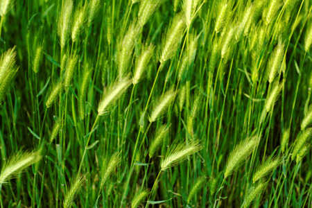 Beautiful close up photo of the green awn Stock Photo