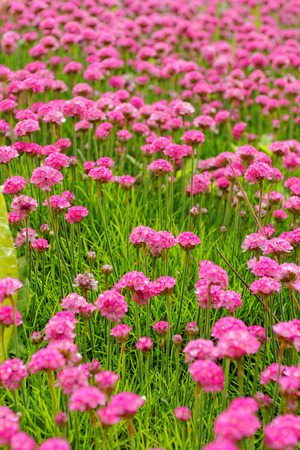 Beautiful photo lot of pink flower in the meadow