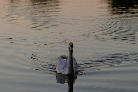 Lonely swan swimming by the rising sun Stock Photo