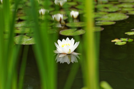 Beautiful photo of a water lily in the pond Stock Photo