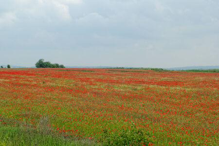 Huge red colored poppy field Stock Photo