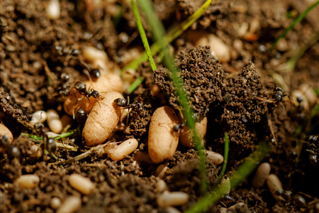 in the anthill moving ants the eggs Stock Photo