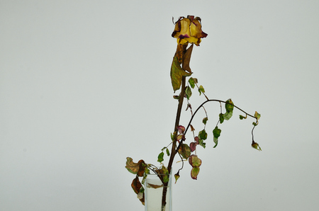 roseleaf: Beautiful withered roses in a glass vase