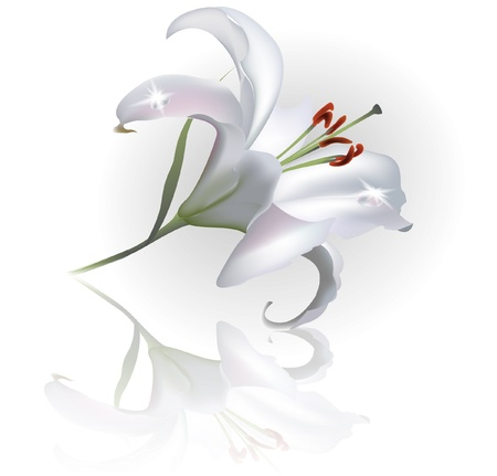 White Lilly Flower Isolated on White Background    Vector