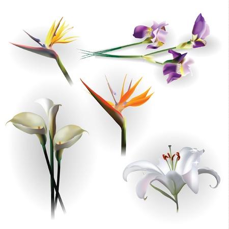 de lis: Conjunto de flores de primavera para fines de dise�o