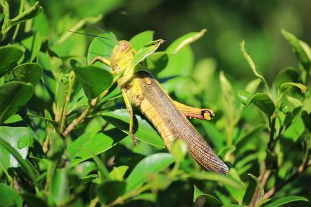 Grasshopper on the grass Фото со стока