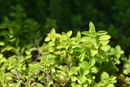 Close up of green thyme sprigs Stock Photo