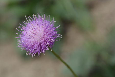 declining: Close up of a pink flower endemic to mountain ranges in Europe - Latin name Serratula lycopifolia