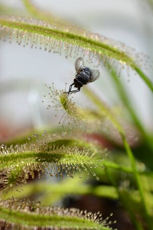 Close up of a fly caught up in tentacles of a carnivorouse plant cape sundew - Latin name Drosera capensis