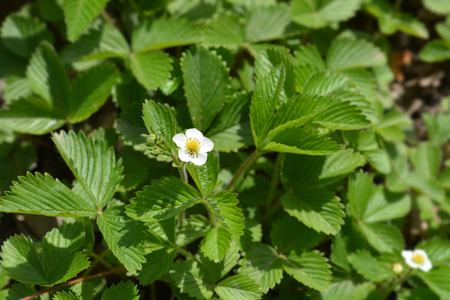 Wild strawberry flower - Latin name - Fragaria vesca Stock Photo