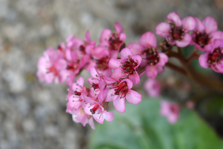 Close up of bergenia pink flowers - Latin name - Bergenia stracheyi var. Afganica, native to central Asia