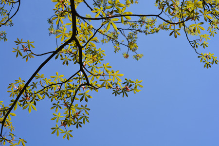Yellow buckeye branches against blue sky - Latin name - Aesculus octandra Marsh.