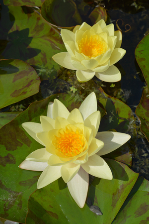 Close up of yellow water lily flower - Latin name - Nymphaea x marliacea Chromatella