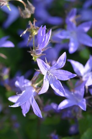 Trailing bellflower - Latin name - Campanula poscharskyana