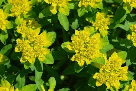 Cushion spurge yellow flowers latin name euphorbia epithymoides cushion spurge yellow flowers latin name euphorbia epithymoides stock photo 102736948 mightylinksfo