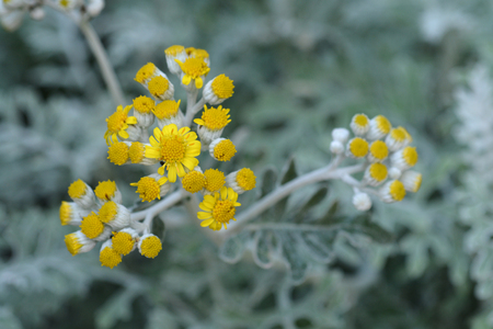 Silver ragwort yellow flowers latin name senecio cineraria silver ragwort yellow flowers latin name senecio cineraria cirrus stock photo 102736964 mightylinksfo