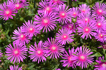 Trailing Iceplant pink flowers - Latin name - Delosperma cooperi Stock Photo
