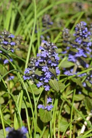 Dark purple bugle - Latin name - Ajuga reptans Banque d'images - 103186445