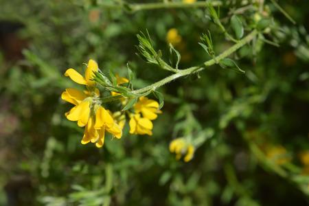 Close up of Spanish Gorse yellow flower - Latin name - genista hispanica subsp. occidentalis Stock Photo