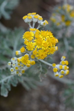 Silver ragwort yellow flowers latin name senecio cineraria silver ragwort yellow flowers latin name senecio cineraria cirrus stock photo 103241060 mightylinksfo