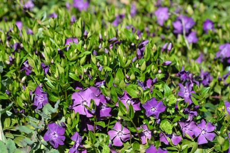Common periwinkle flowers - Latin name - Vinca minor Stock Photo