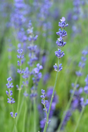 English lavender - Latin name - Lavandula angustifolia Standard-Bild
