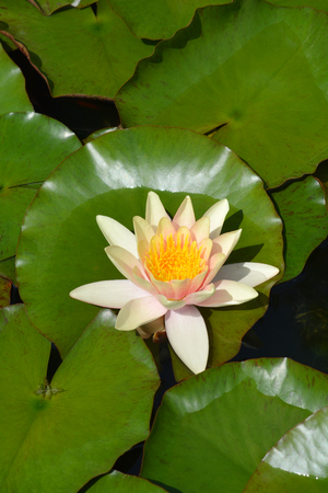 Pale pink water lily Paul Harriot - Latin name - Nymphaea Paul Harriot