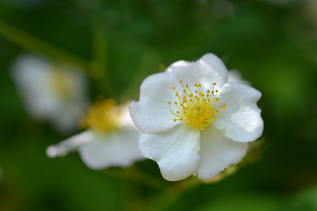 Japanese rose white flower - Latin name - Rosa multiflora 版權商用圖片